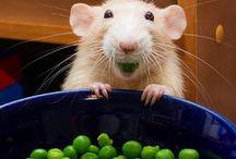 Rats ❤️