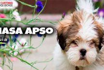Cachorrinho  Lhasa