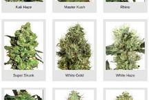 Sensi Seeds White Label / White Label Sensi Seeds are high grade white cannabis strains - marijuana that glisten white when budding due to excessive THC formation :)