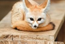 ☆● Small but mighty Fennec ●☆