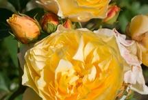 Roses for my garden ;)
