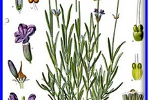 Lavender always and forever