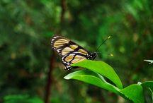 BUTTERFLY PHOTOS / Brazilians butterflies