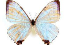 Unmounted Butterflies / Real Unmounted Butterflies and Insects for sale https://www.naturalhistorydirect.com/collections/unmounted-insect-specimens
