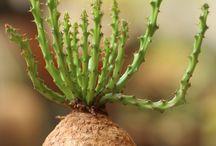 Suculentas PA / Plantas suculentas