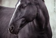 BLACK HORSES BEAUTY