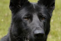K9 Zora family protection dog / Titled in Schutzhund. The ultimate in Home Security delivered to your home.