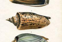 Seashell illustrations