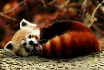 Red panda / The cutest things in the world