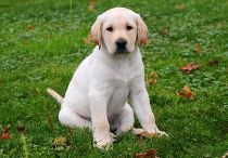 Irvine / We'd like you to meet Irvine, the guide dog puppy we're sponsoring.