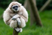 ANIMAL • Gibbon