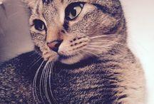 Maja cica