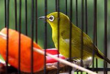 Pemasteran Burung Pleci