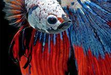 Bettas / Uno de los peces más bonitos de agua dulce.