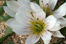 φυτά της Κρήτης_Cretan plants