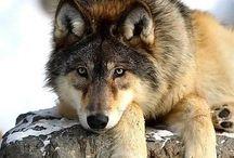 B_Wolves