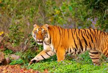 Wildlife Tours in India & Asia / Know more about the wildlife sanctuaries, national park in India & Asia.
