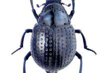 georyssidae