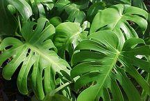 Philidendron plant