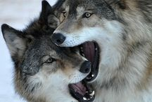 Fox and Wolfs