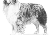 """Australian Shepherd / Animated, adaptable and agile, the Australian Shepherd lives for his job, which still involves herding livestock and working as an all-purpose farm and ranch dog. He needs a lot of activity and a sense of purpose to be truly content. Today, due to the breed's intelligence and versatility, """"Aussies"""" also excel in AKC events such as agility, obedience and herding. Their coats can be black, blue merle, red merle and red with or without white markings."""