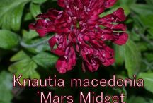 """Knautia (Family - Dipsacaceae) / Knautia macedonia  The common names of these flowers are a variant of """"widow flower."""" Others are given the name """"Scabious,"""" although this word belongs to a related genus."""