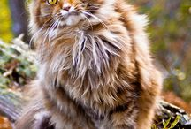 maine coon,,,