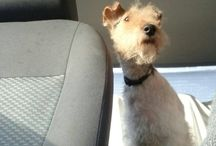 Fanni / Our wire fox terrier