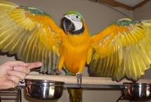 Birds ... Beautiful Birds  / Birds are beautiful ! My family of parrots include Cody , Heidi , Kayla , Izzy and B. J.  / by McLemore Genealogy