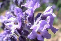 Plants / Bug repellent
