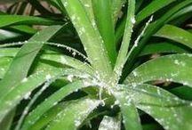 plante dracaena marginata