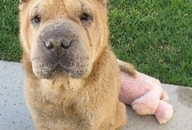 Adopt a Shar-pei / Trying to help the good folks at  Pei People Shar-Pei Rescue find homes for beautiful shar-peis. If you'd like to adopt a rescue dog, please visit their website: http://peipeople.com/