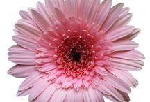 Rose couleur de février / by Juneau.ca