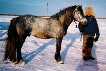 Mezen / country of origin - Russia | average height 145-150 cm | colours - black, bay/brown, chestnut, grey, possibly dilutes (cream, dun) | uses - agricultural work, light draught work, general riding