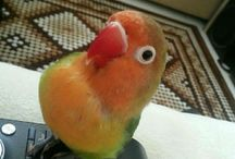 cennet papağanı..