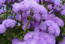 Ageratum / by Shoot Limited