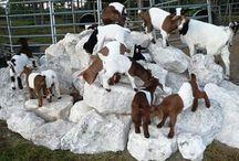 Cuccioli di capra