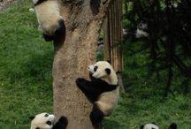 Osos pandas.