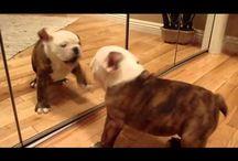 Bulldogs <3❤️ / Just too cute