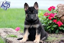 German Shepherds / My love for those adorable dogs <3