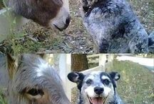 Blue heelers / the love and loyalty these dogs I give to us s