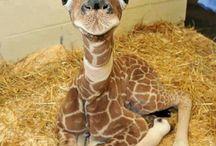 Giraffjes