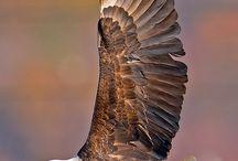 Kartal Eagle