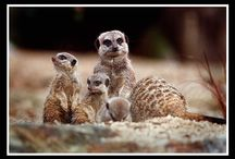 Meerkats / A collection of Meerkat images we have available