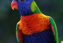 Parrots, Lorikeets  & other birds