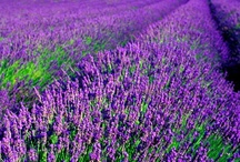 Lavender / by Jo Becker