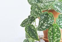 ΦυMy Attic: succulent, greens, hanging plantτά