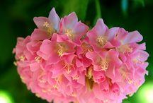 Plant Hydrangea