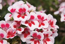 Geraniums / a beautiful and easy plant to grow - perfect in garden beds, containers, hanging baskets and more