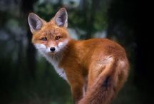 Fox Pics